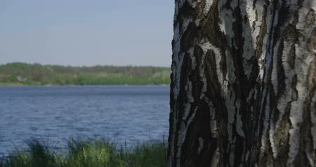 pień : 4k - beautiful birch in a dense green grass near a lake Wideo