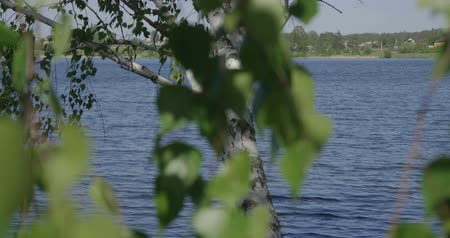 aproximação : 4k - blue lake on a sunny day through birch foliage
