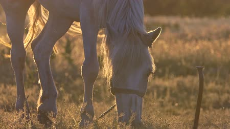 poník : White horse shakes her mane during grazing in slow motion at sunset.