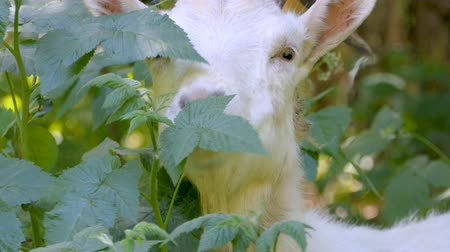 cow eats : The white goat with big horns eats bush in the forest. Stock Footage