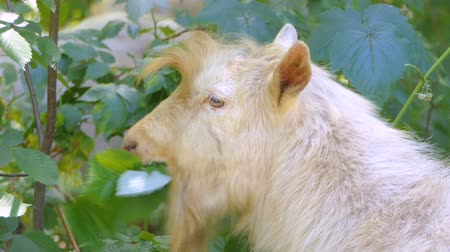 cow eats : White goat eats bush in the forest.