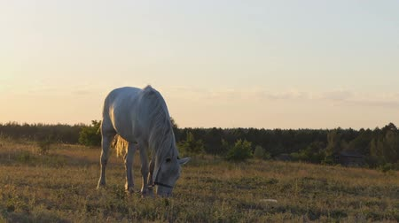 equino : A white horse standing in a field on a chain.
