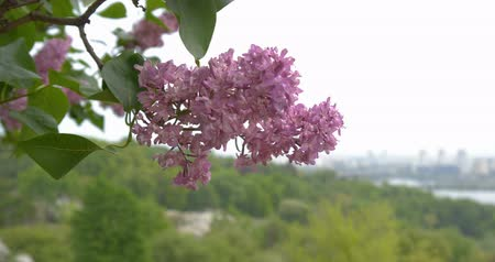 feixes : Amazing lilac flower close up.