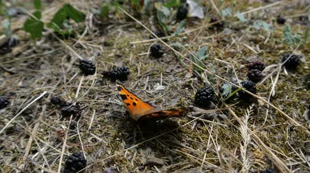 tijger : An orange butterfly sits on the ground near the mulberry in slow motion. Stockvideo