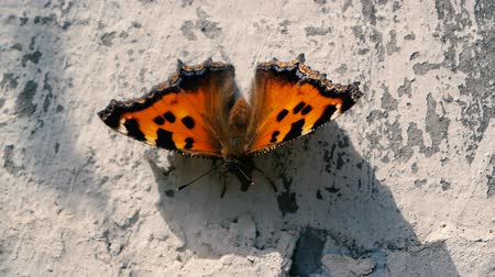 monarca : Beautiful butterfly sits on the concrete in slow motion during windy weather.