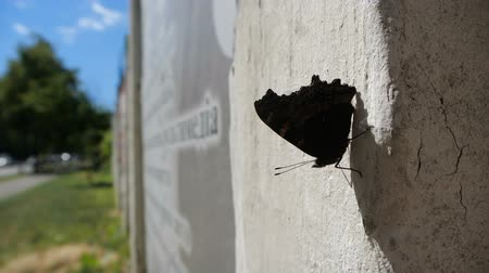 open blossom : Beautiful butterfly sits on the concrete in slow motion during windy weather.