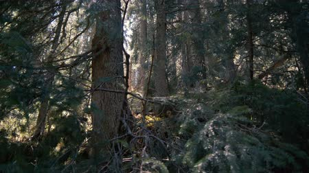 карпатская : Wild spruce forest in the Carpathian Mountains in autumn in slo-mo