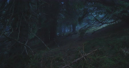 gramíneo : Magic spruce trees and grassy patches between them in the Carpathians in slo-mo