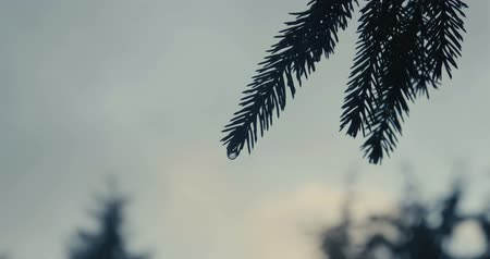 сосновая шишка : Fluttering spruce bracnches in the Carpathian Mountains in slow motion.