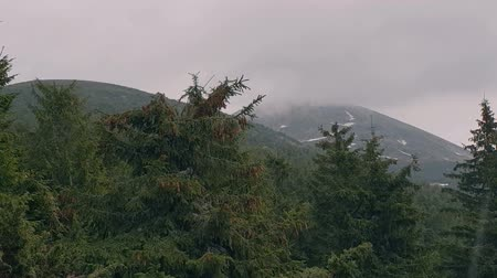 snow covered spruce : Spruce forest in the Carpathian Mountains under sporadic rain in slow motion