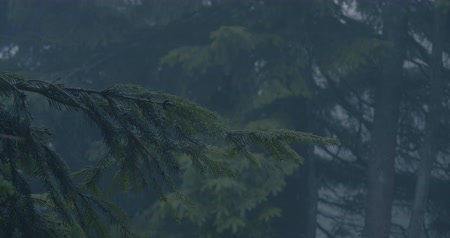 kino : Green branch of a spruce tree in a dark forest in slow motion