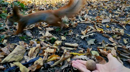 sciurus vulgaris : Red squirrel take nut from the hand of woman - pov view .