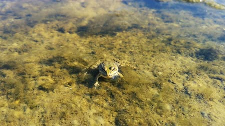kétéltű : Close up shot of the frog that lying on thr surface of the water. Stock mozgókép