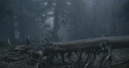 fallen leaves : Fallen tree with curvy branches in a dark forest in the Carpathians in slo-mo