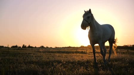 dizgin : White mare with a bridle on its muzzle in a field at sunset in autumn in slo-mo Stok Video