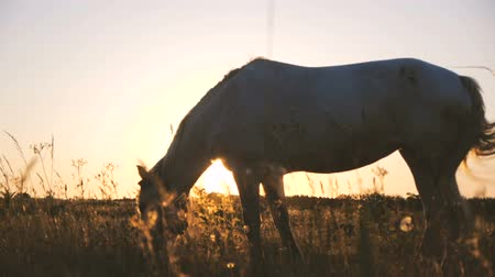 égua : Beuatiful horse eating grass in a boundless field at wonderful sunset in slo-mo