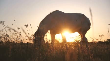 pónei : Inspiring white horse eating food in a huge field in autumn in slow motion