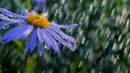 pampeliška : Violet daisy flower under sparkling shower drops on a sunny day in slow motion