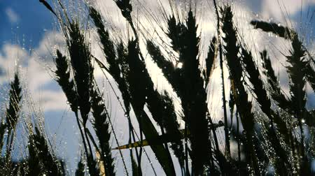 seu : Wheat plants with ripe spikes waving under flows of rainy water in slow motion