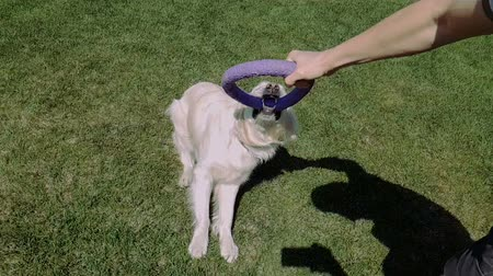 シャギー : Cheery wite dog keeping a small round hoop and entertaining with a man in slo-mo 動画素材