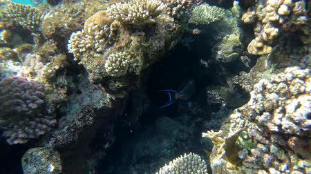 biodiverzitás : 4k - beautiful coral reef in the Red Sea with a lot of amazing fishes.