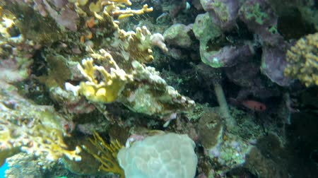 biodiversidade : Amazing coral reef in the underwater worl - the action in Red Sea.