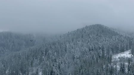 karpaty : The Carpathians covered with dense spruce wood and a crow flying over in slo-mo