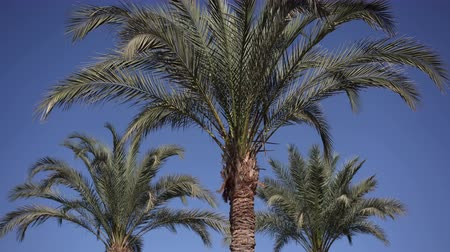 maia : Three palm trees wawing on the wind.