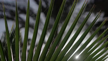 varenblad : Slow motion - palm tree in sunlight. Stockvideo