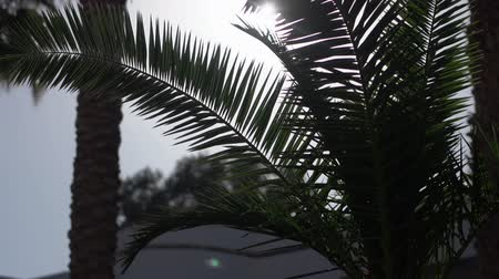 varenblad : Palm tree in sunlight the action in the slow motion. Stockvideo