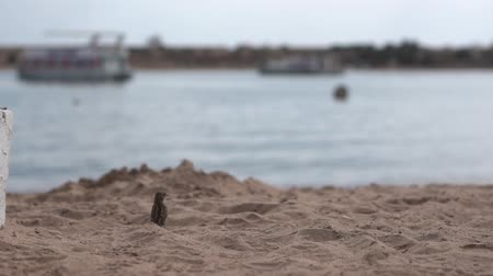 passer by : Small sparrows flies on the beach near the sea in slow motion.