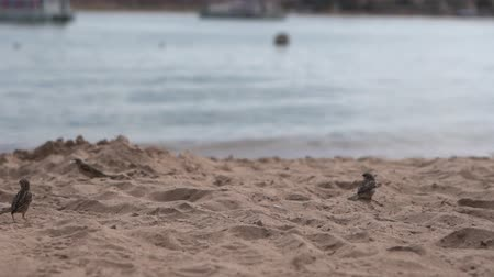 perching : Small sparrows flies on the beach near the sea in slow motion.