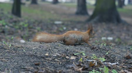 cauda : Alone red squirrel run on the ground in slow motion. Stock Footage