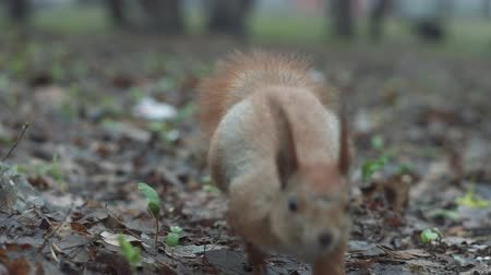 sciurus vulgaris : Squirrel run in slow motion close to camera and looks on it extremely close up. Stock Footage