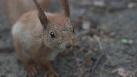 squirrel fur : Close up shot of the red squirrel that sits and breathes