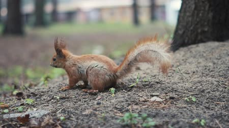 wiewiórka : Alone red squirrel run on the ground in slow motion. Wideo
