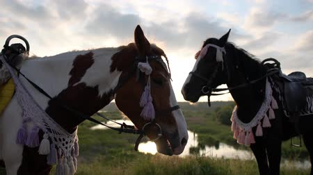 flâmula : Two ornate horses stand in a meadow during sunset in slow motion Stock Footage