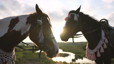 flâmula : Two brown ornate horses stand in a meadow with a pond at sunset in slow motion Stock Footage