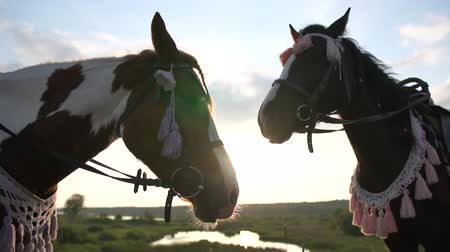 flâmula : Two saddled horses in a bridle stand on a meadow at sunset in slow motion