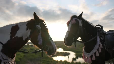 flâmula : Two pretty saddled horses in a bridle stand on a meadow at sunset in slow motion