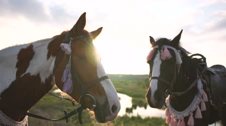 flâmula : Two pretty saddled horses in a bridle stand near the pond at sunset, slow motion Stock Footage