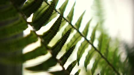 spiky : Fantastic fern houseplant with spiny and thin leaves growing interior