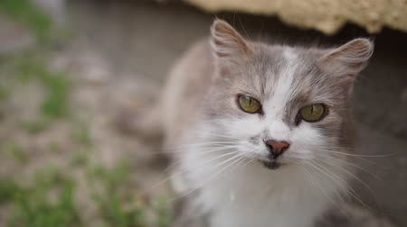 coon : Tabby cat with light blue eyes looking up being relaxed at a house Stock Footage
