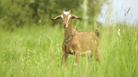 horned : Cheery nanny goat with a strap looking around in a green field in slo-mo Stock Footage