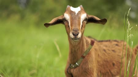 horned : Snooping she goat with a leather strap seeking grass in a green field in slo-mo