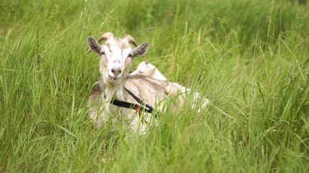 удивительный : Happy white nanny goat lying, eating and looking forward in a pasture in slo-mo Стоковые видеозаписи