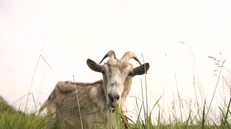 horned : Cheery grey she-goat lying and eating grass in a green lawn in summer in slo-mo