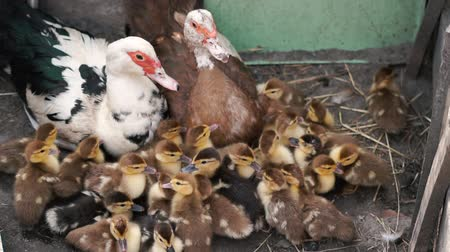 навес : Lovely multicolored ducklings with their mom and dad lying at a shed in slo-mo