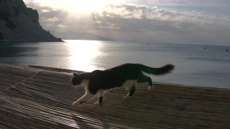 살아있는 : Black and white cat walks on the roof of near the sea at sunrise in slow motion 무비클립