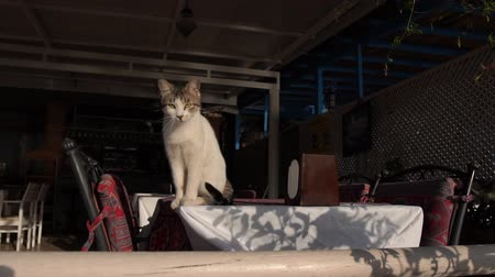 столовая гора : Cat sits on the table in empty restaurant in slow motion.